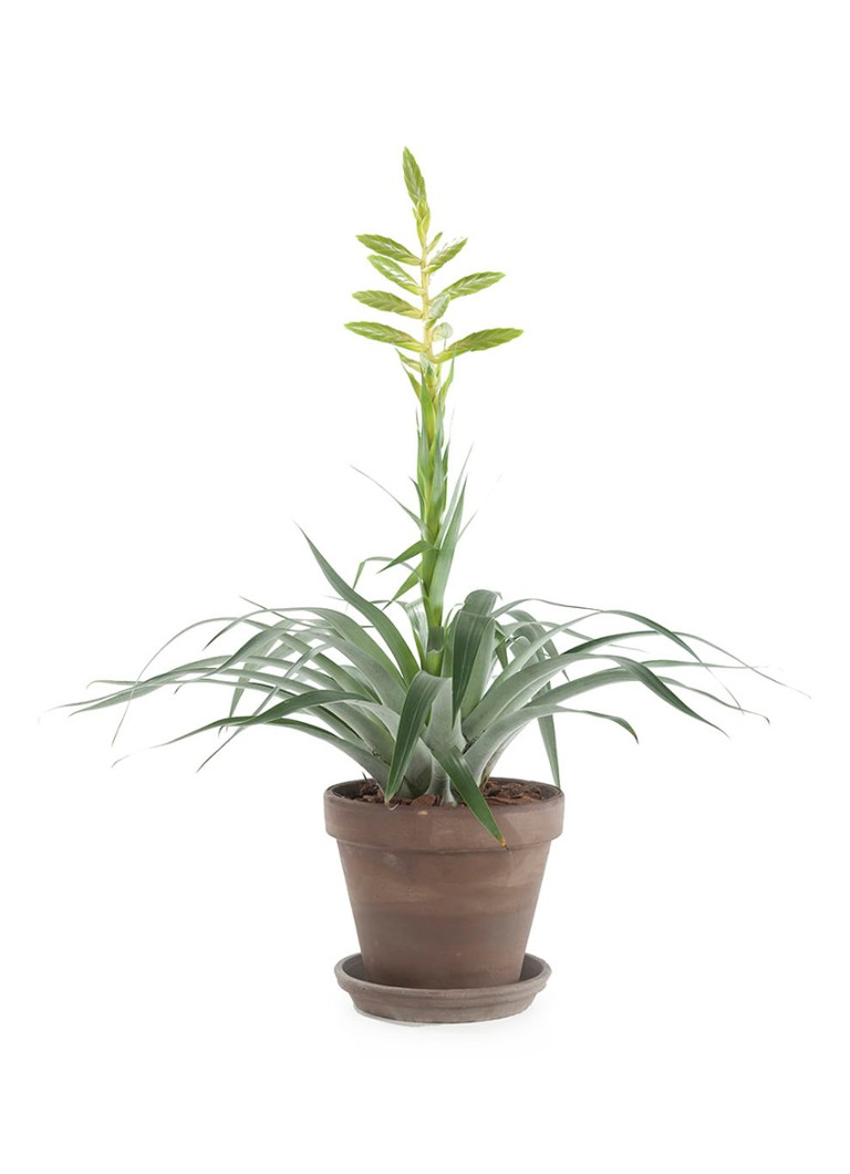 Green lifestyle store Tillandsia oerstediana plant met taupe