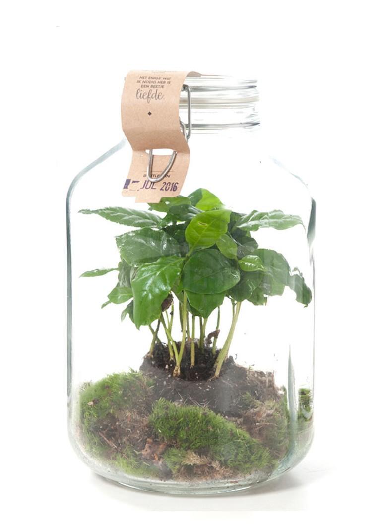 Green lifestyle store Coffea arabica plant in weckpot