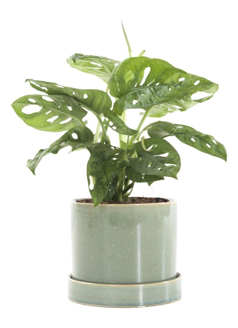 Green lifestyle store Monstera monkey mask plant met deep fo