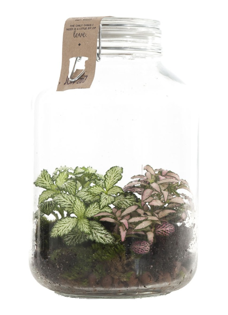 Green lifestyle store Fittonia plant in weckpot