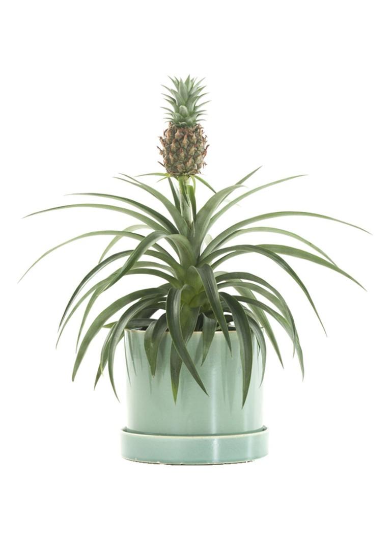 Green lifestyle store Bromelia ananas champaca plant met pot
