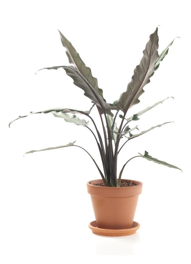 Green lifestyle store Alocasia Lauterbachiana in pot