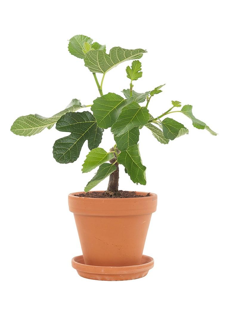 Green lifestyle store Vijgenboom (Ficus Carica) met pot